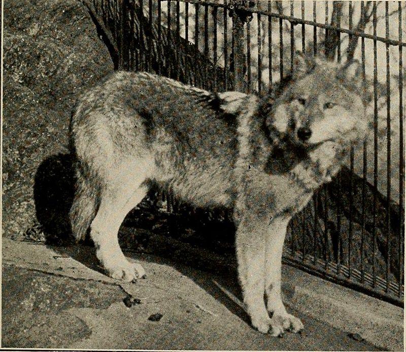 ذئب سنة 1921
